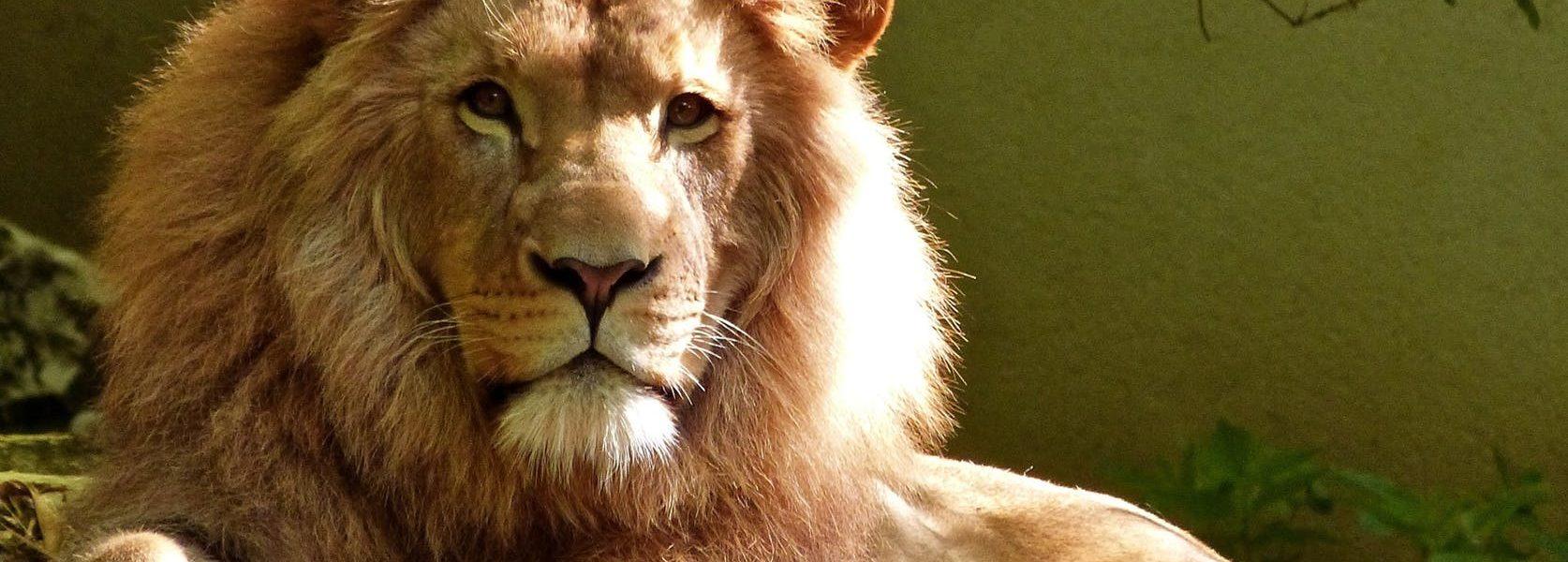 30 brutalno istinitih činjenica o karakteru Lava, Kakvi su Lavovi zaista?