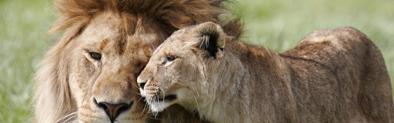 Najblja priča o braku: Evo kako se lav odnosi prema svojoj ženki!