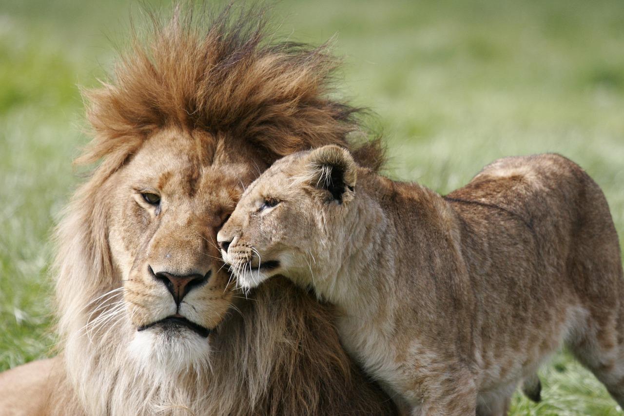 Najbolja priča o braku: Evo kako se lav odnosi prema svojoj ženki!