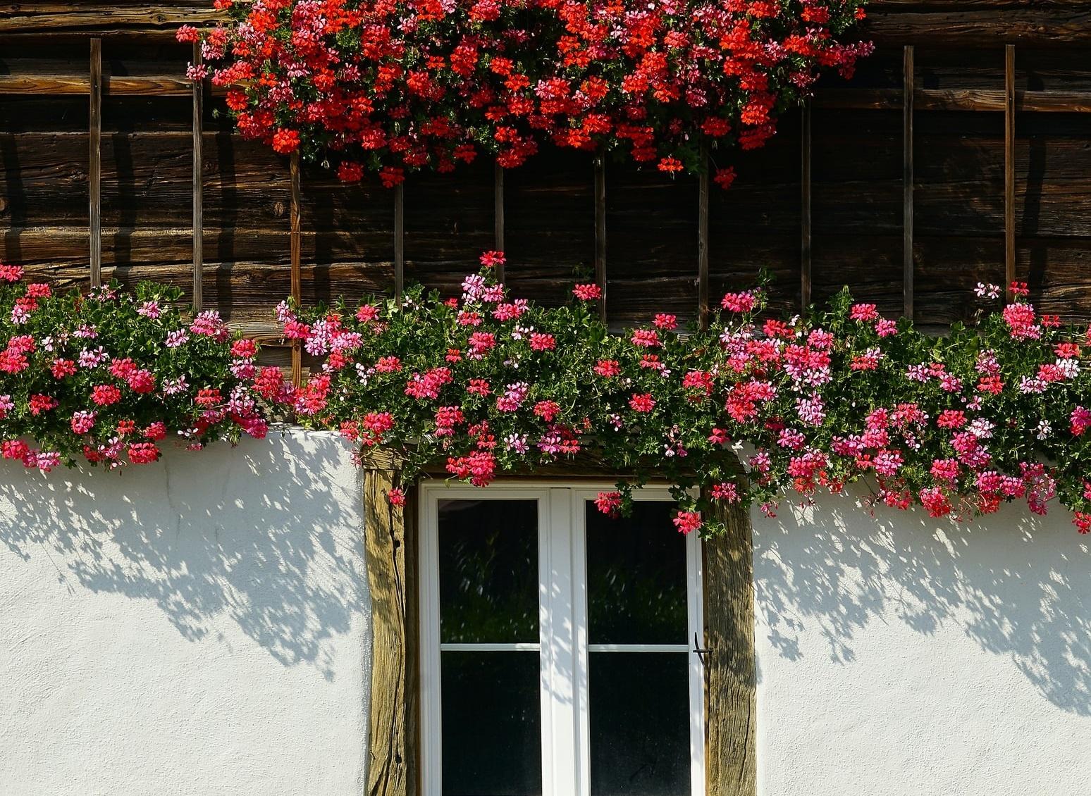 Neka vaš balkon bude najljepši – raj od pelargonija!